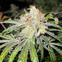 Deep Neville (Medical Seeds)