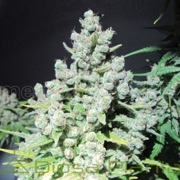 Malakoff (Medical Seeds)