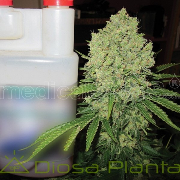 Prozak (Medical Seeds)