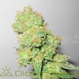 Y Griega CBD (Medical Seeds)