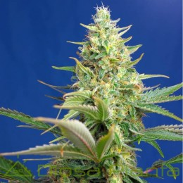 Sweet Pure CBD Auto (Sweet...