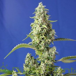 Gorilla Girl XL Auto (Sweet...