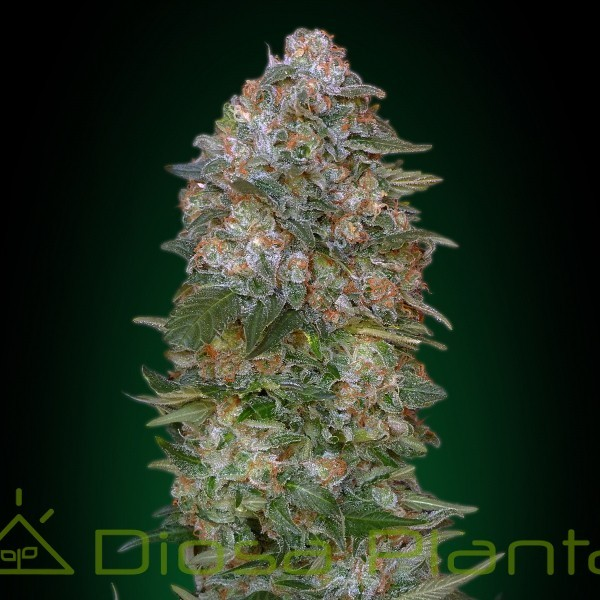 Critical Soma (Advanced Seeds)