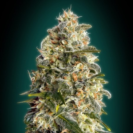 Heavy Bud (Advanced Seeds)