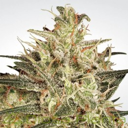 Atomical Haze (Paradise Seeds)