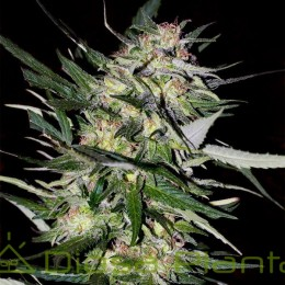 Jack Plant (Advanced Seeds)