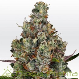 Rainbow Road (Paradise Seeds)