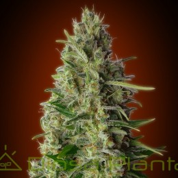 Kali 47 (Advanced Seeds)