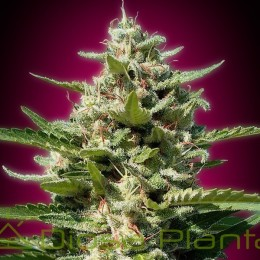White Kush (Advanced Seeds)