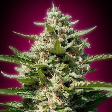 White Kush (Advanced Seeds)
