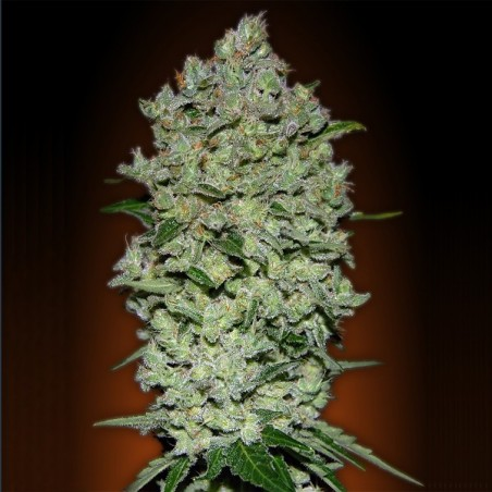 Auto Bio Diesel Mass (Advanced Seeds)
