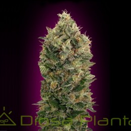 Auto Black Diesel (Advanced Seeds)