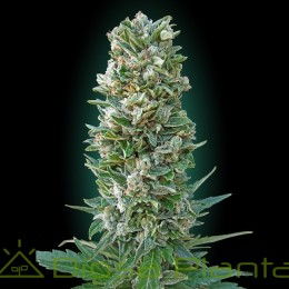 Auto Heavy Bud (Advanced Seeds)