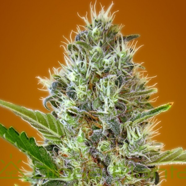 Auto Somango (Advanced Seeds)