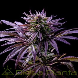 Purple Punch a granel...