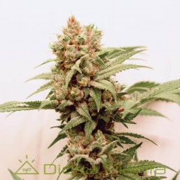 Auto CBG Force (Dutch Passion)