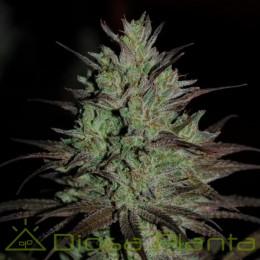 CBD 1 Feminizada (Ace Seeds)