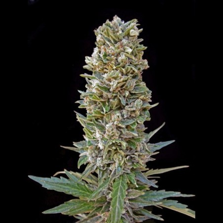 Automatik Mix (Advanced Seeds)