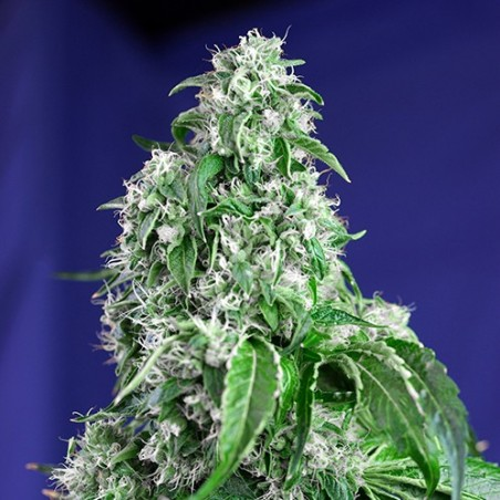 Big Devil F1 Fast Version (Sweet Seeds)