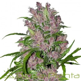 Purple Bud Automatic (White...