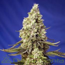 Runtz Xl Auto (Sweet Seeds)