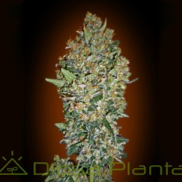 Cheeseberry (00 Seeds)