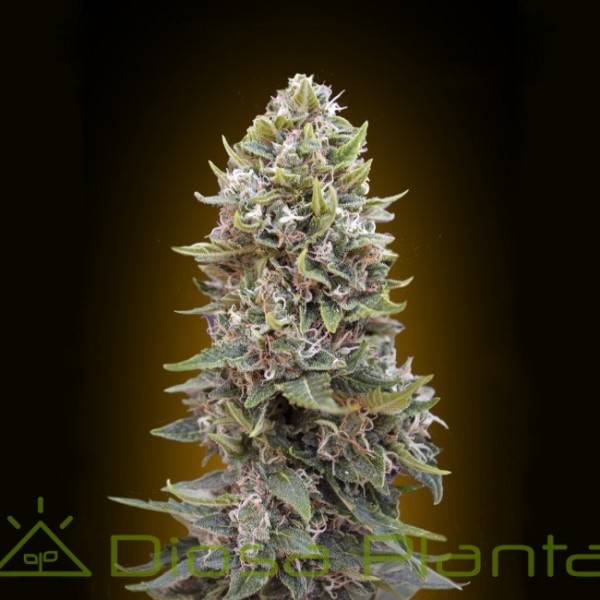 Auto Cheeseberry (00 Seeds)