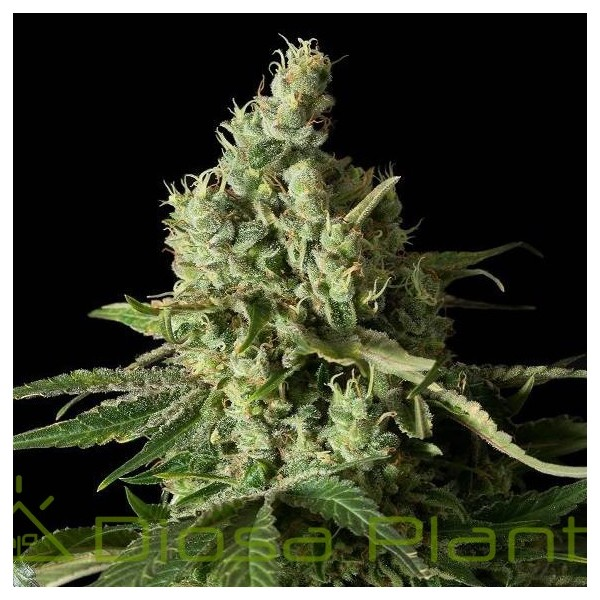 Moby Dick CBD (Dinafem Seeds)